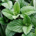 Πενταετής επιδότηση για την καλλιέργεια αρωματικών φυτών
