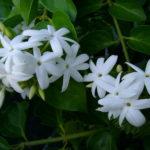 Γιασεμί ή ίασμος (Jasminum)