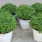 Βασιλικός - Ocimum basilicum