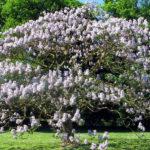 Παυλώνια - Kαλλωπιστικό δένδρο