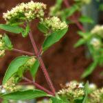 Mαντζουράνα (Origanum mojorana L.)
