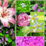 Ενδεικτικά Aρωματικά φυτά