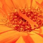 Η Calendula officinalis, η καλέντουλα η φαρμακευτική,